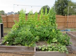 Zucchini July 2015